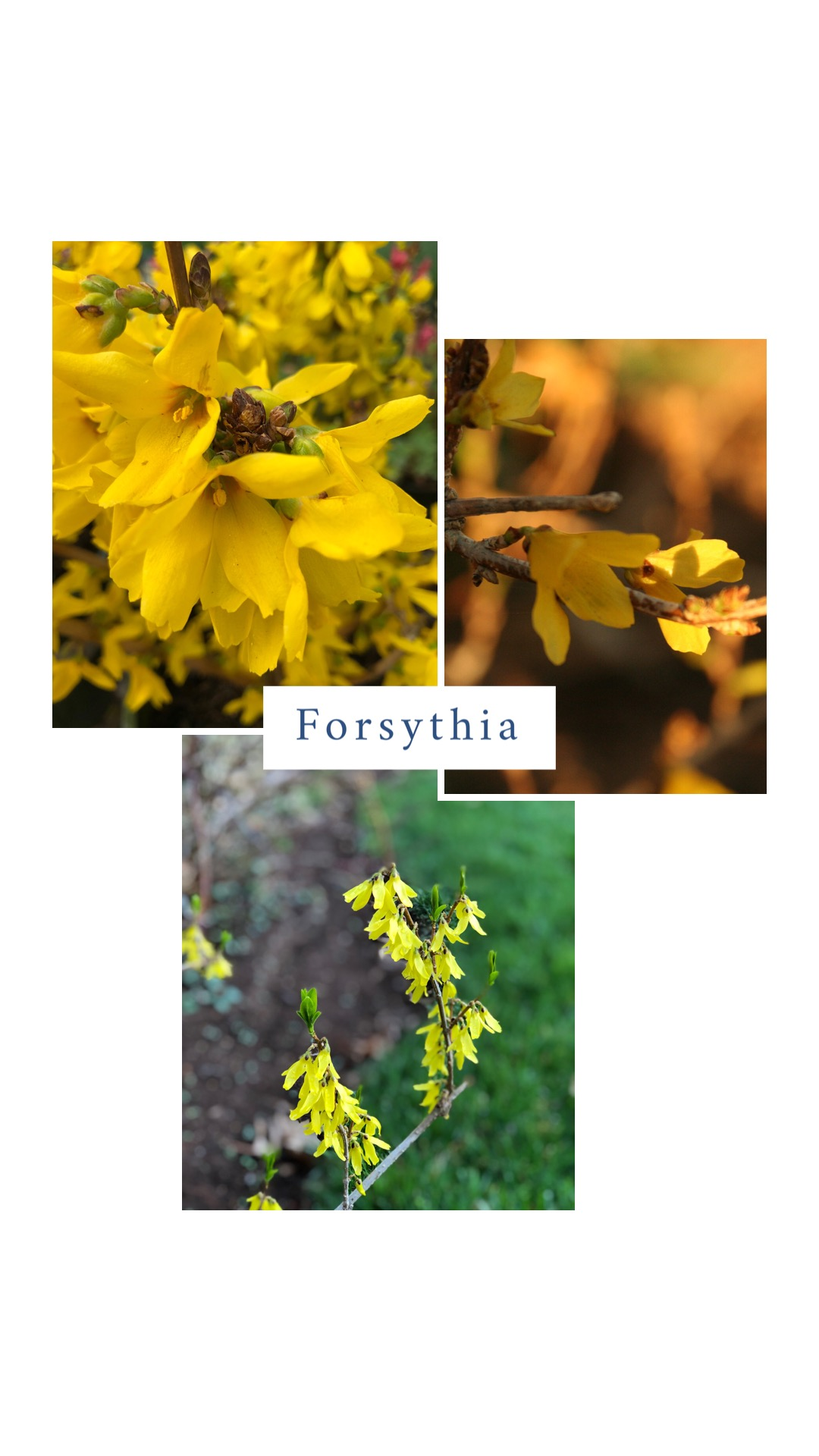 Forsythia (Forsythia x intermedia 'Lynwood').  Best grown as a specimen shrub where it can show off its naturally stunning shape. Forsythia's brilliant yellow flowers are the first to welcome spring. It performs best planted in full sun and will grow in partial shade, only with less spring blooms. It is considered a fast grower. Forsythia adapts well to most soils but prefers well drained. It rarely has an insect or disease problem. Pruning should only occur after spring blooms fade. If you prune later in the year you will reduce blooms the following spring. The best way to prune this shrub is to remove older wood all the way to the base of the shrub. Traditional forsythia will grow to 6-8' with an 8' spread and are well suited for large lawns. If you have a smaller yard, look for one of the newer varieties, such as Gold Tide (Forsythia 'Courtasol'), a dwarf variety that only reaches 2' high and spreads to 4'.