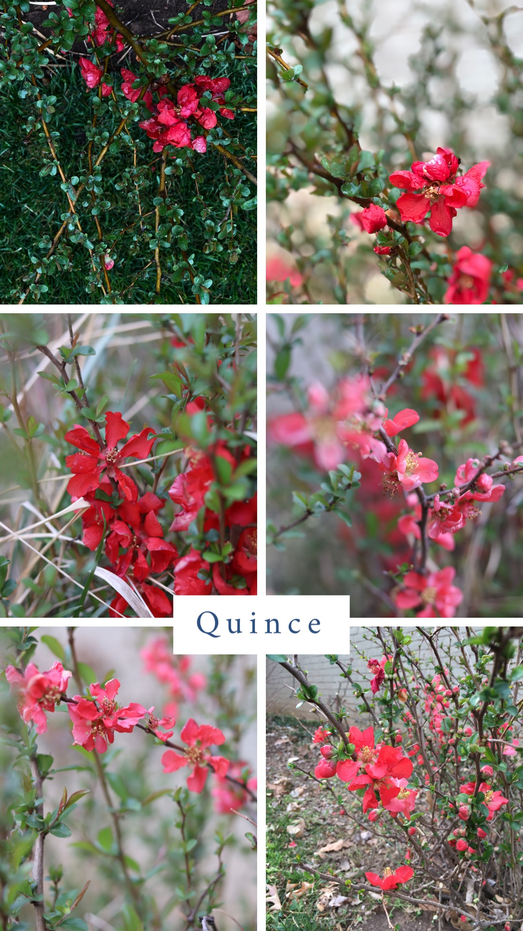 "Flowering Quince (Chaenomeles japonica ""Texas Scarlet').  Another early bloomer known for adding splashes of red to the landscape. It also performs best in full sun and tolerates partial shade but with fewer blossoms. Considered a moderate grower and mid-sized shrub, most varieties reach 4-5'. It does best if planted where it can grow to its natural size and shape. If pruning is required, only prune in the spring after blooms have faded. Flowering Quince is loved by butterflies and hummingbirds. The plant is very draught tolerant once it is established and it will tolerate most soils, but like most plants would enjoy well drained areas. Another variety, Chaenomeles speciossa Double Take Series has blooms that resemble camellias."