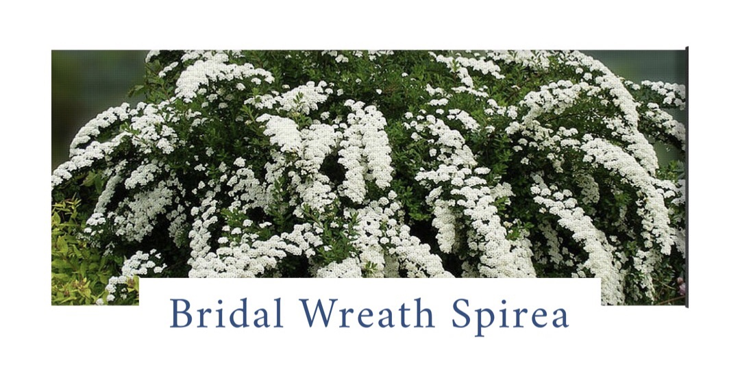 Bridal Wreath Spirea (Spiraea x vanhouttei).  A medium sized shrub with arching branches covered with an abundance of white cascading flowers in mid spring. It is a very hardy, heirloom shrub, with no specific pest issues that thrives in well drained soils. It attracts hummingbirds and butterflies. To preserve the natural arching shape, avoid sheering — but if pruning is needed, it is best done in the spring after blooms fade. It looks stunning planted in full sun to partial shade in front of darker structures or large hollies. Spiraea nipponica 'Snow mound' is another great variety.