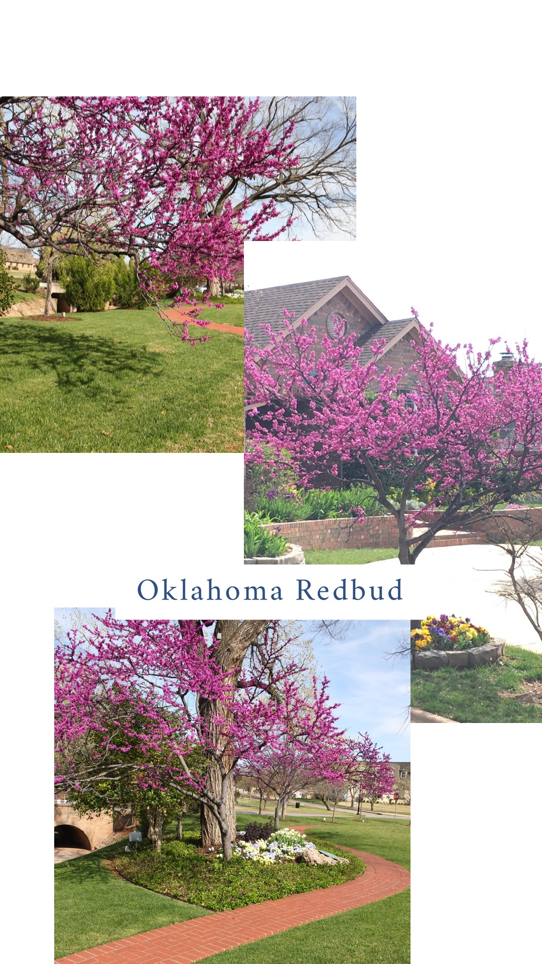 "Redbud (Cercis canadensis var. texenis 'Oklahoma').  My all-time favorite ""Welcome to spring"" plant.  (You can expect me to dedicate an entire email to this tree every spring!)  Reddish-purple blooms appear on branches before leaves appear. The 'Oklahoma' variety was discovered in the Arbuckle Mountains and know for its glossy, heart shaped, green leaves in the summer. It grows to 15'-20'. Prefers full sun but does well as an understory tree in dabbled shade."