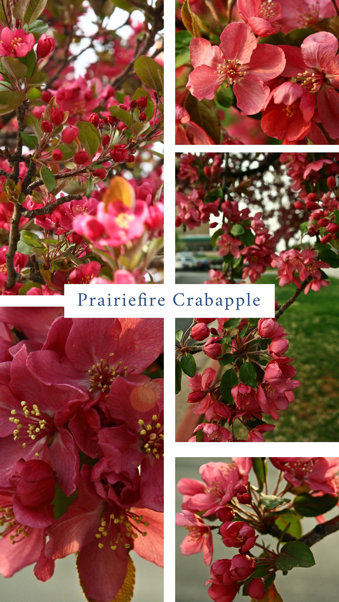 Crabapple (Malus 'Prairifire).  There are many varieties of crabapples, but 'Prairifire' is one of the best. It was the Oklahoma Proven Tree of the Year in 2007. It is disease resistant and not phased by most of the problems with crabapples. Flowers of rose-pink cover the tree as soon as leaves emerge. Young leaves go from purple-red to dark green as they mature. Branches have red fruit in the winter. Mature, 20-25', trees have a rounded top. Plant in full sun as a specimen tree or in a grouping. Water extra during periods of extreme heat or draught.