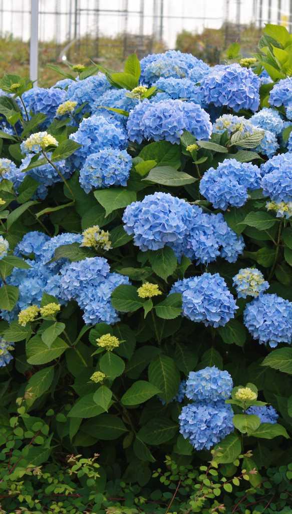 - The Original — big round blue or pink blooms