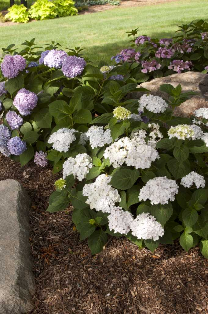 - Blushing Bride - pure white blooms that mature to a pink blush.