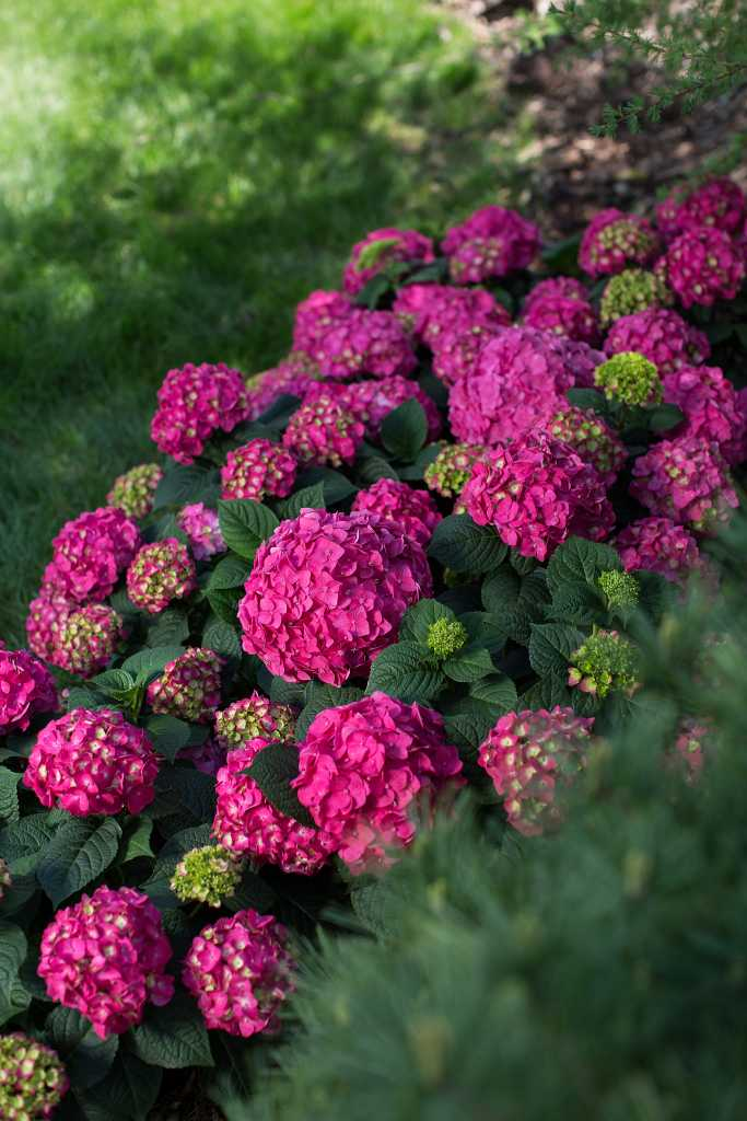 - Summer Crush — a 2019 introduction with raspberry red or neon purple flowers with a compact growth.