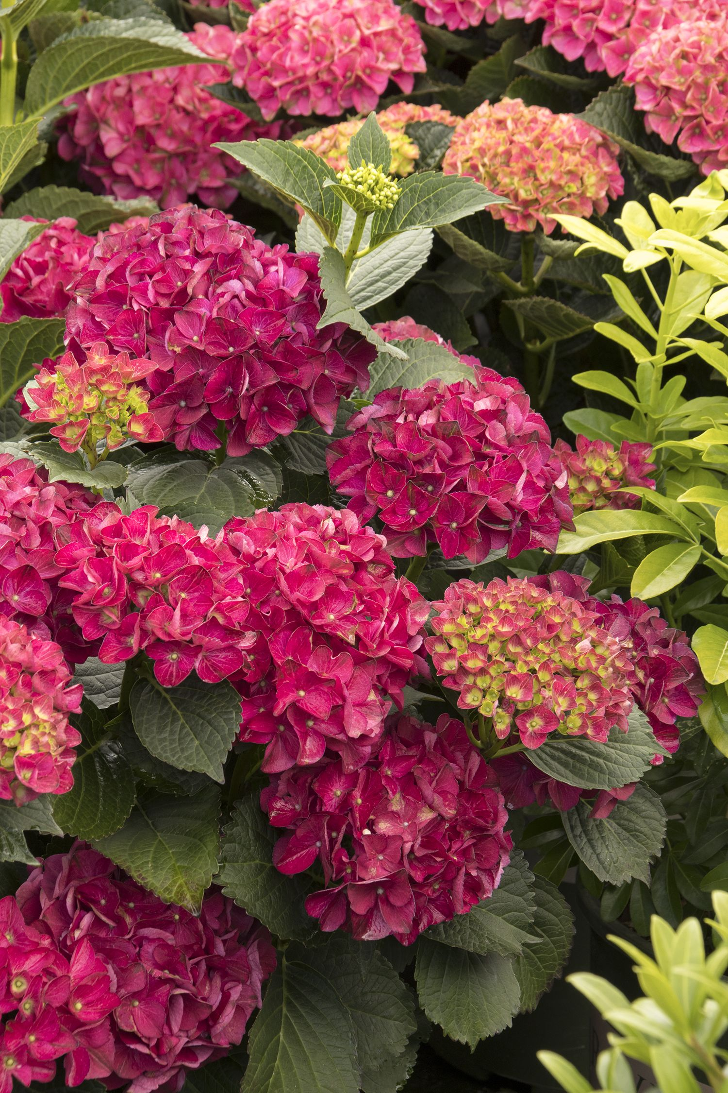 Seaside Serenade Series by Monrovia  – A more compact form of hydrangea ideal for smaller areas that blooms on both last year's growth and new growth. To see all the varieties in the Seaside Serenade series, visit Monrovia.com.