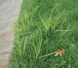 Nutsedge  often begins to show up in lawns in late May.  The pre-emergent herbicide we use will help with prevention, but it isn't 100% and some spot treatments can be expected.  But, since Nutsedge is a result of tight, wet soils, annual aeration is the best practice.