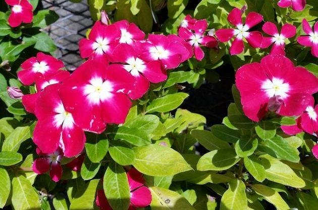 Annual Color – It is always best to wait until May to plant seasonal color varieties that thrive in the summer heat. May is the month when soil temperatures are warm enough for them to establish roots for the summer. But, the best annuals for surviving the summer heat don't like saturated soils. We are seeing periwinkle (annual vinca) with yellowing leaves. Penta, known for its tough nature in a draught, struggling to get established because of root rot. Lantana, maybe the best in hot, sunny, draught prone locations, struggling in wet soils.