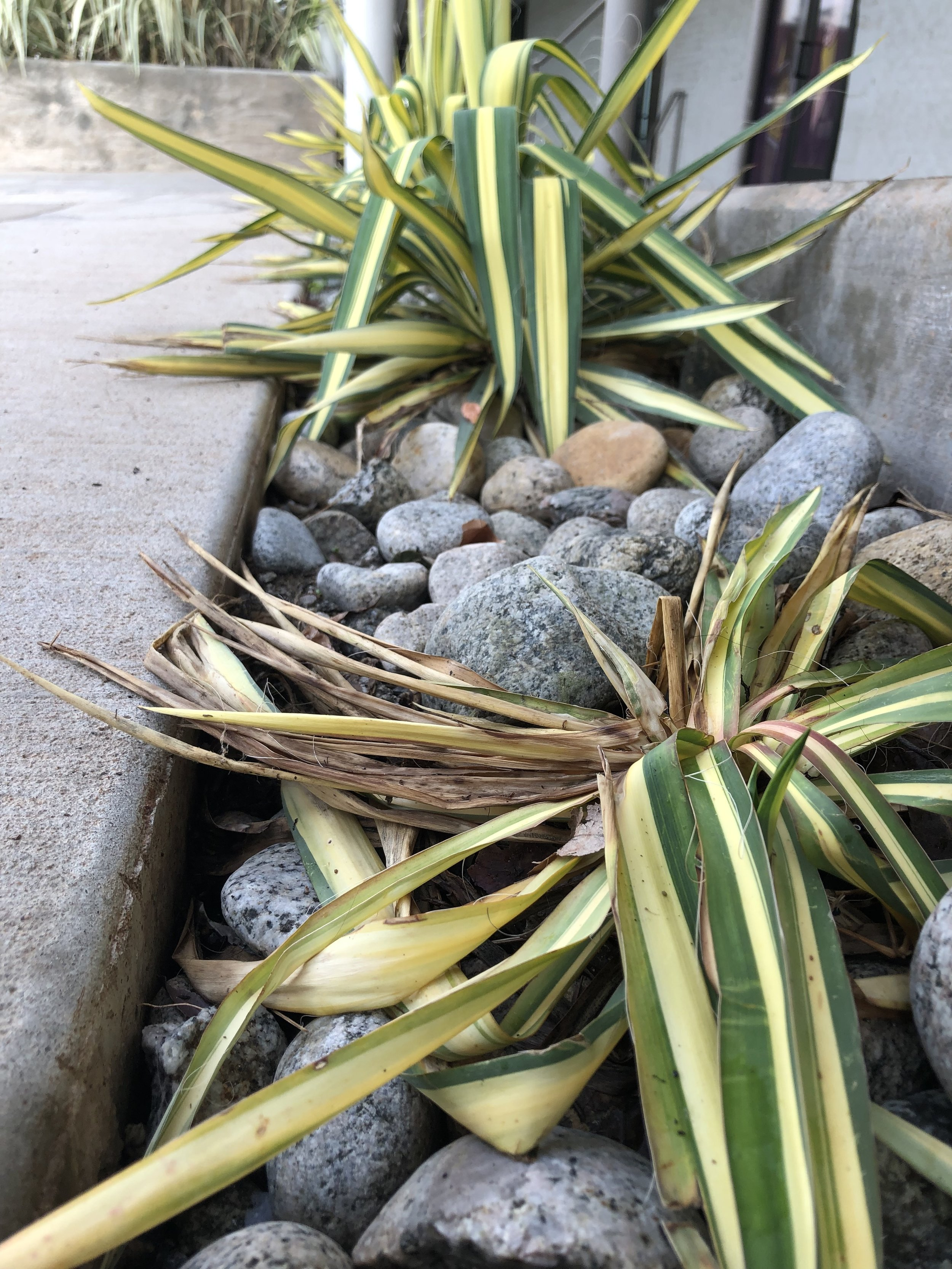 Xeriscape – Selecting more draught tolerant plants has become more and more popular. Overall, I think it is a good idea - in the right location. But, yucca and many other xeriscape favorites, are having a rough start to the year. These plant selections don't need particularly great soil, but they do need to have good drainage and be soil that stays on the dryer side.