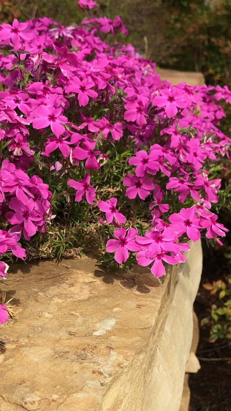 """Creeping Phlox (Phlox stolonifera) . The first to welcome spring each year. Creeping phlox produces a spring-like carpet in pastel hues of white, lavender, red and pink. Creeping phlox is a moderate grower that can spread up to 2' but only reaches 4-6"""" in height. It prefers full sun but will tolerate some shade each day. Borders, walls, and around boulders are where it looks best. In my garden, you will find it cascading over a rock retaining wall. It tolerates most soils as long as it is well drained. The plant requires little maintenance. Mites are about the only insect problem it will have."""