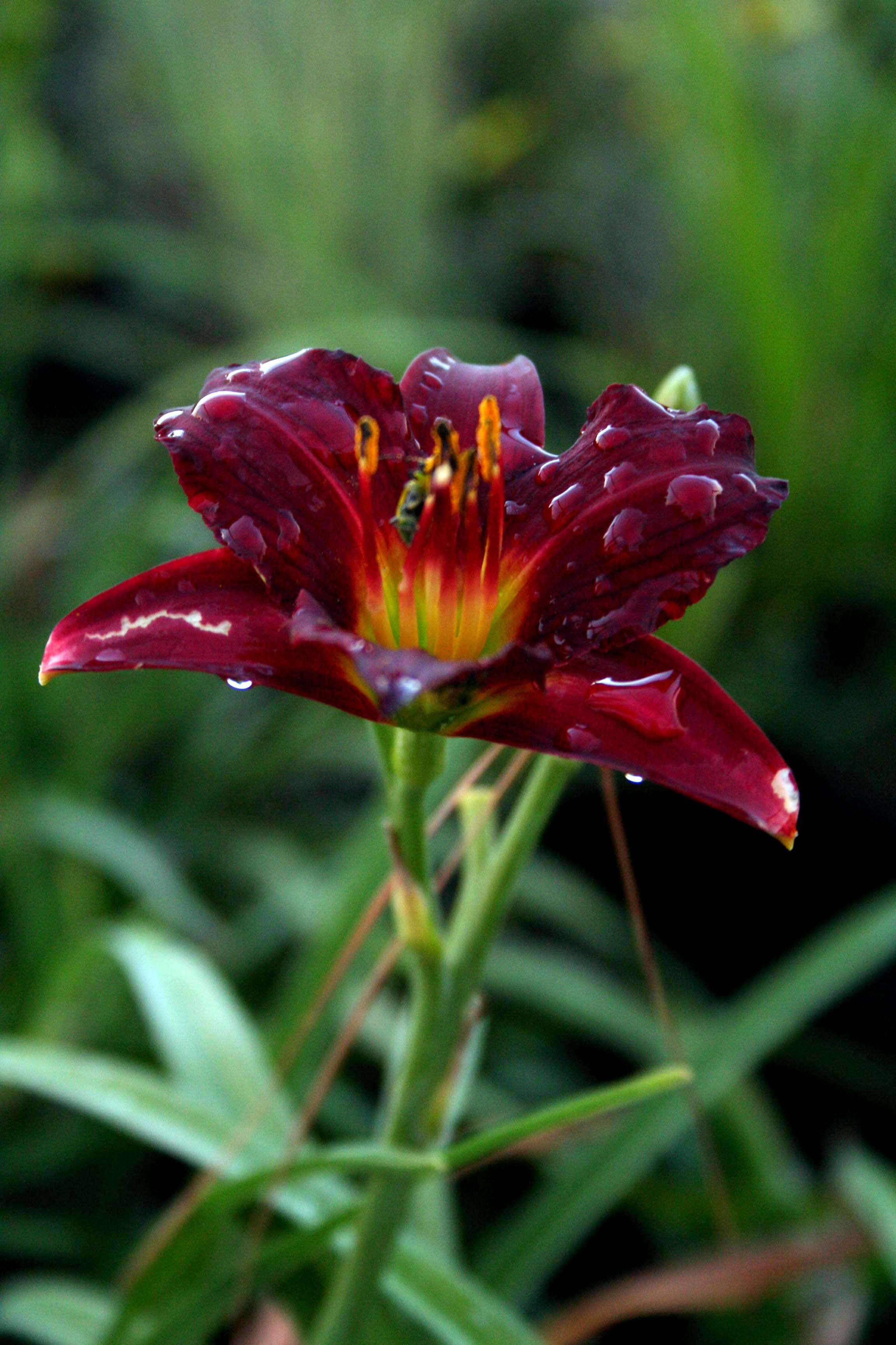 """Daylily (Hemerocallis) . With hundreds of cultivars there are too many colors to list. Daylilies range from 10-36"""" tall and 12-24"""" wide. Depending on the variety, blooms start in early summer and extend into late summer with a successive blooming habit that last 4-6 weeks. Plant in sun to partial shade with no more than a half day of shade. They are drought tolerant, pest resistant – an overall tough plant. With a clump type growth, they are dynamic planted in a mass grouping. Well drained fertile soil is best, but they are very adaptive to a wide range of soils. Leave dormant foliage until new foliage emerges in the spring. Fertilizer in early spring and again in early summer. Clumps can be divided every 3-5 years in the fall. Remove spent flower stocks to encourage more blooms. The most common yellow daylily is 'Stella de' Oro'. 'Pardon Me' is a great red daylily. Planting daylilies behind liriope (monkey grass) will help cover up the unattractive foliage as it begins to fade in late summer. Our daylilies started putting on their early summer show this week"""
