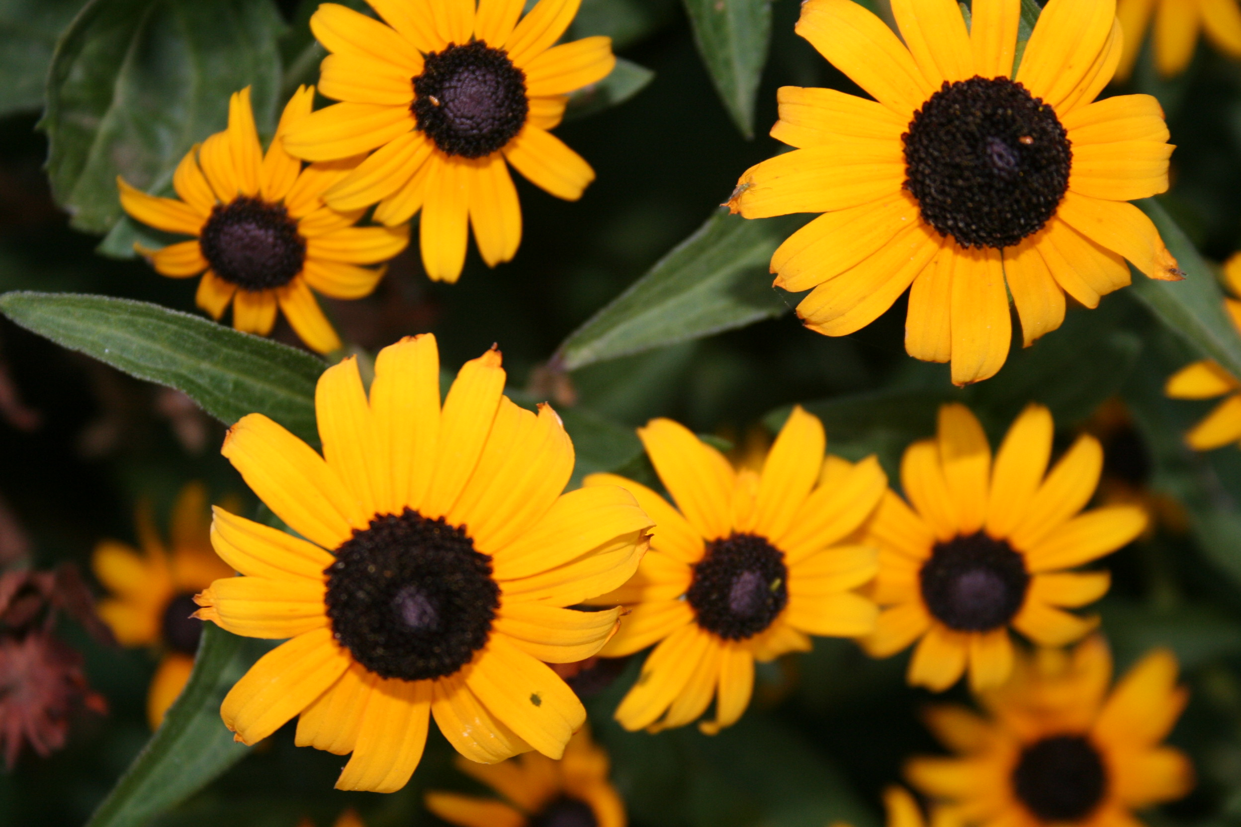 """Black-Eyed Susan (Rudbeckia grandiflora).  Daisy like golden-yellow flower petals surround a dark brown or black center reaching 2-4' and spreading 2'. The large flower blooms (2-4"""") will be arriving in the next two weeks and will continue into July. And, if you keep spent blooms trimmed off, you will get a few blooms in the fall. Plant in sun to partial shade. As a native prairie plant, you will find it to be low maintenance. It tolerates most soils but prefers well drained."""