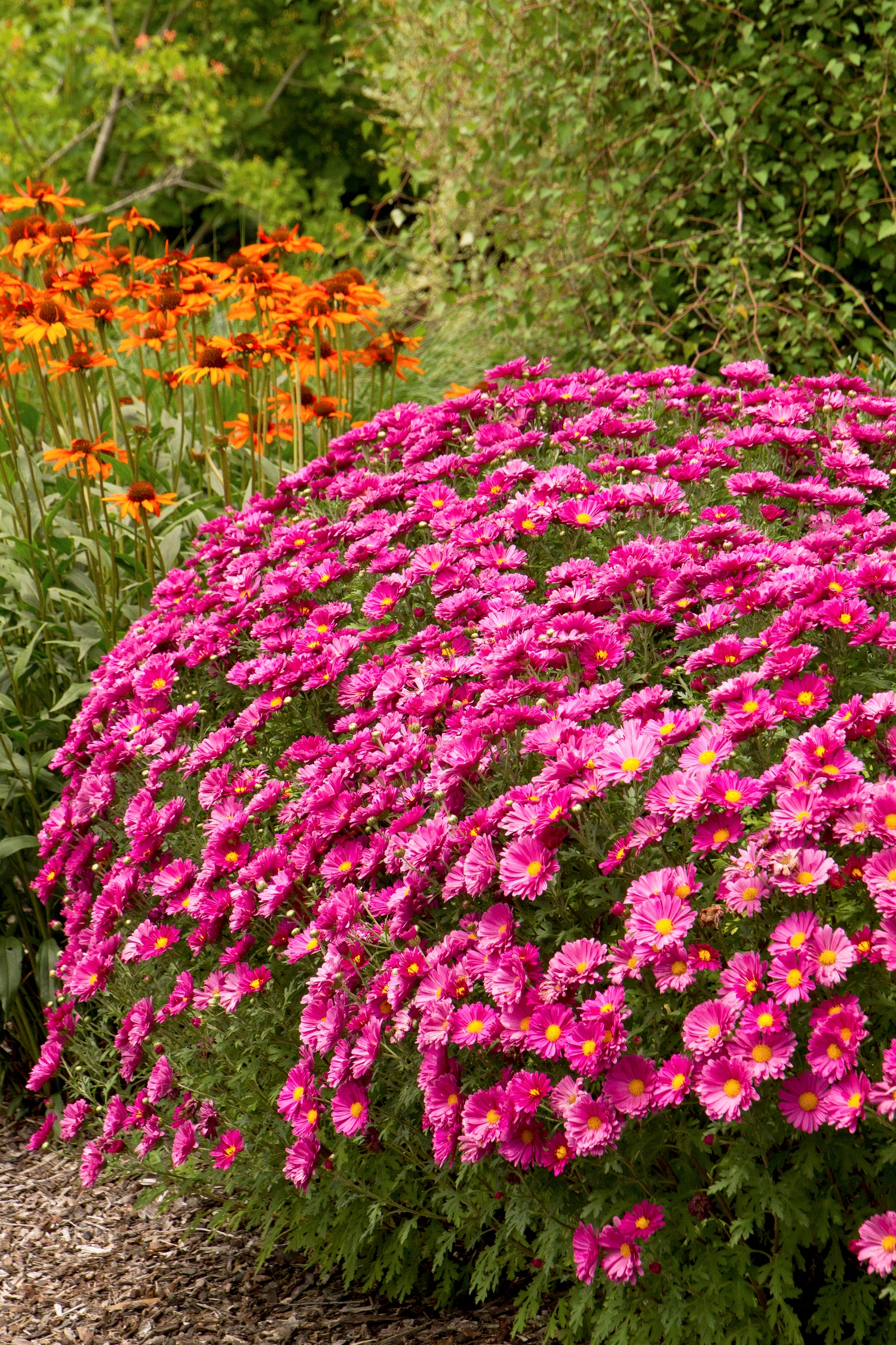 Garden Mum (Chrysanthemum x moratorium).  Typically thought of as an annual, but they make a great perennial for fall color with shades of pink, red, white and yellow. Plant height and width are both 1-3' resulting typically in a round shape. They produce a wonderful burst of color for 2-4 weeks in late September and October. Mums will tolerate light shade but prefer full sun. To survive the winter as a perennial they need moisture and good drainage. Therefore, add an ample amount of compost when planting in our clay soils. Dormant foliage can be removed anytime during the winter or in the spring when new growth emerges. Mums will bloom a little in the spring or early summer. Once the early blooms fade, keep the plant sheared to the shape and height you prefer. Stop shearing after the first of July. When you shear a mum during the last half of the summer, you are removing the flower buds for the fall.