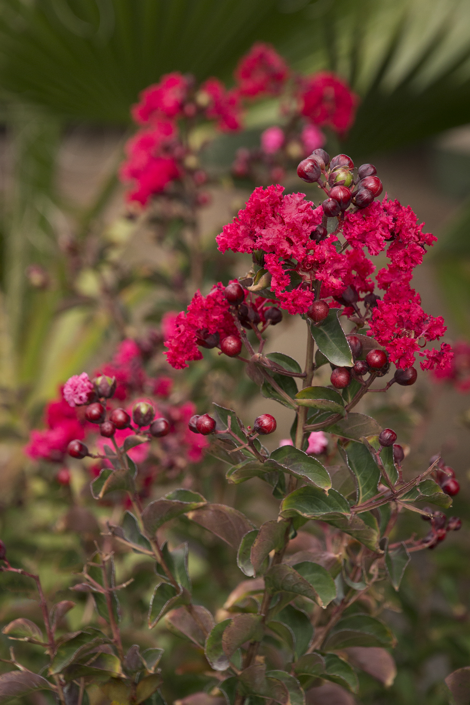 Dynamite  – Also a small tree that grows up to 15'. Dynamite was one of the first red tree form varieties. New foliage is nearly crimson in color and changes to a rich green as it matures. Flowers are brilliant red.