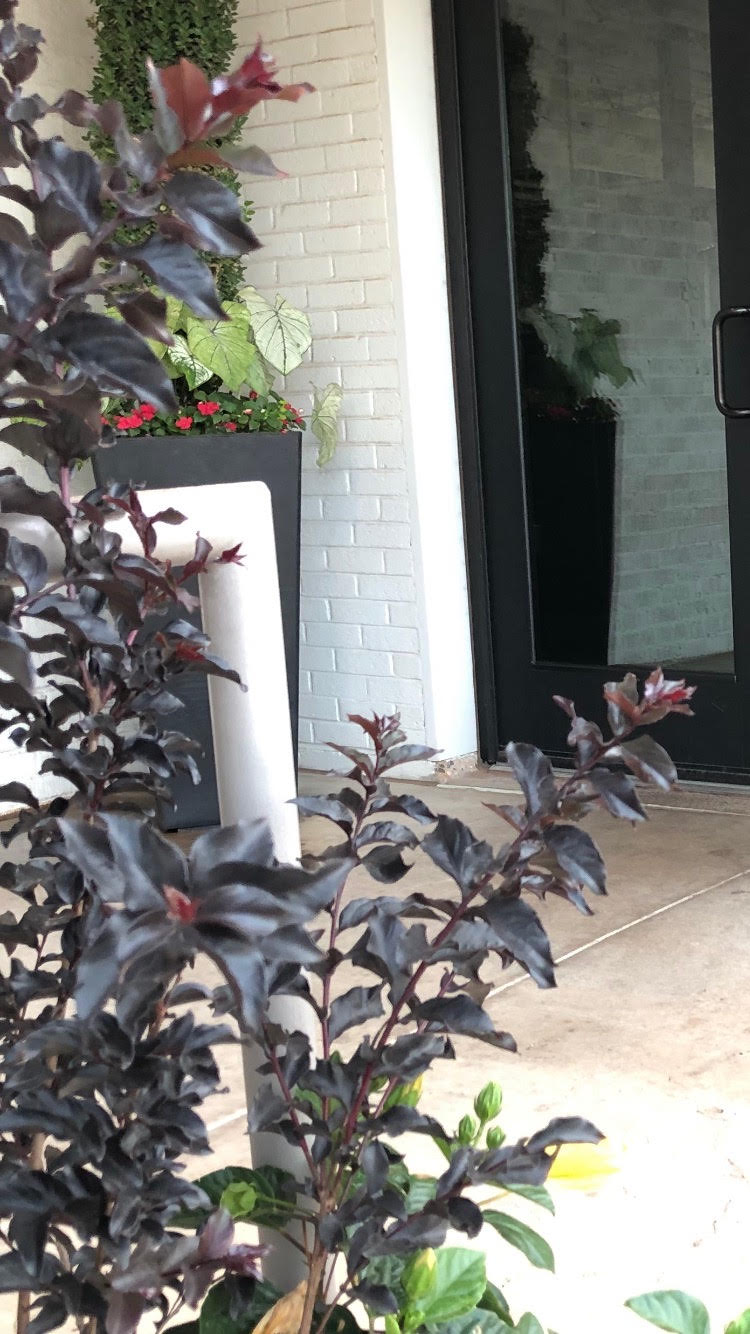 Ebony Flame  – A great accent plant that grows 10-12' with dark red blooms on intense black foliage.