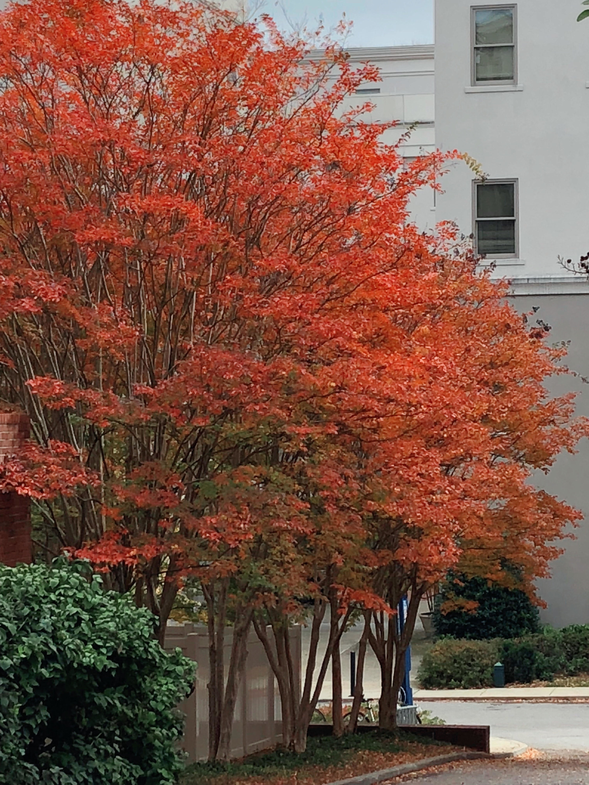Crape Myrtle Fall Color  – Another overlooked characteristic of the plant is the fall color. Varieties range from yellow to red. Much of our fall color is found in larger trees. Crape myrtles add fall color to the landscape below the color of the large trees.