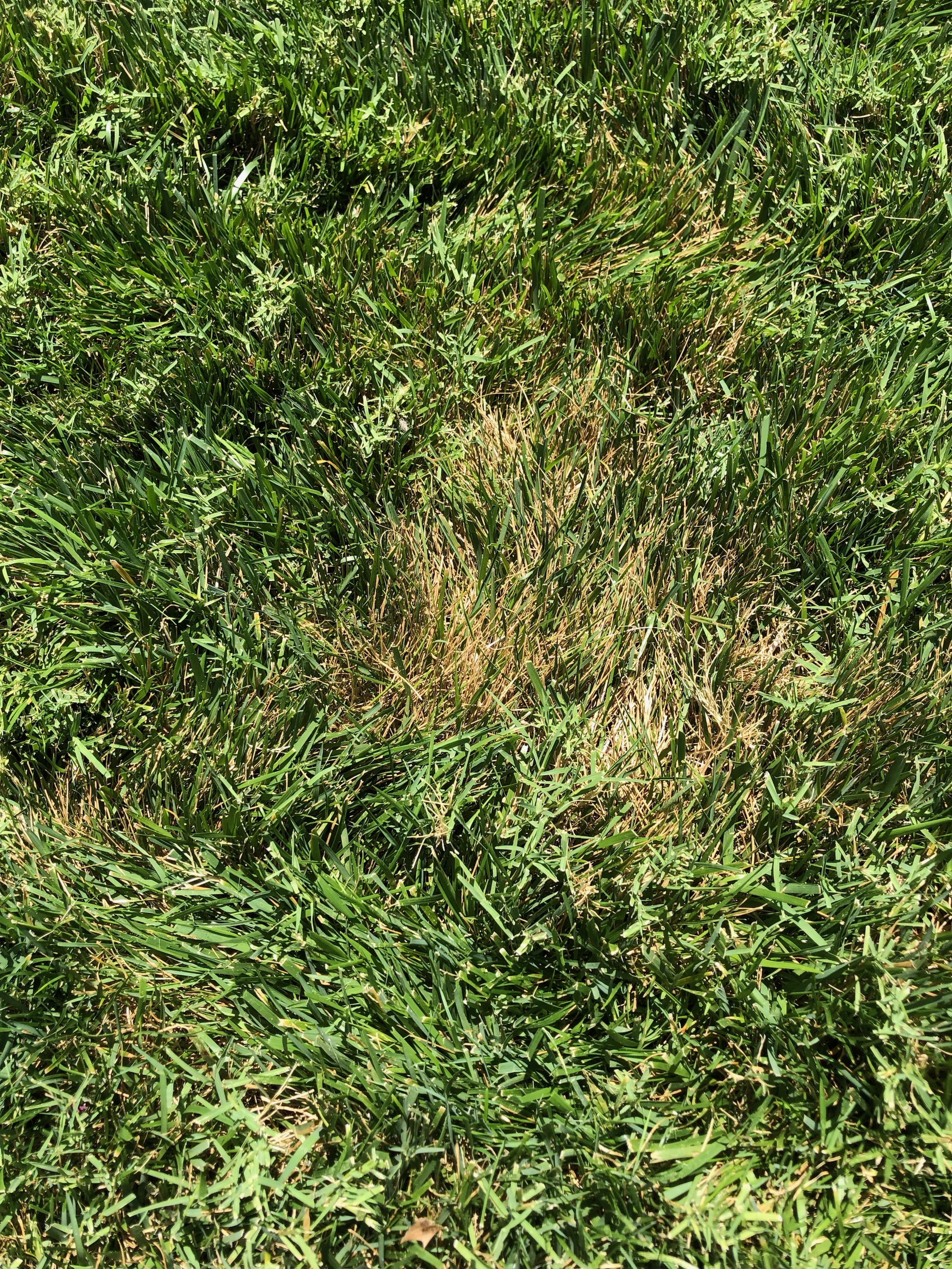 Brown patch in fescue.