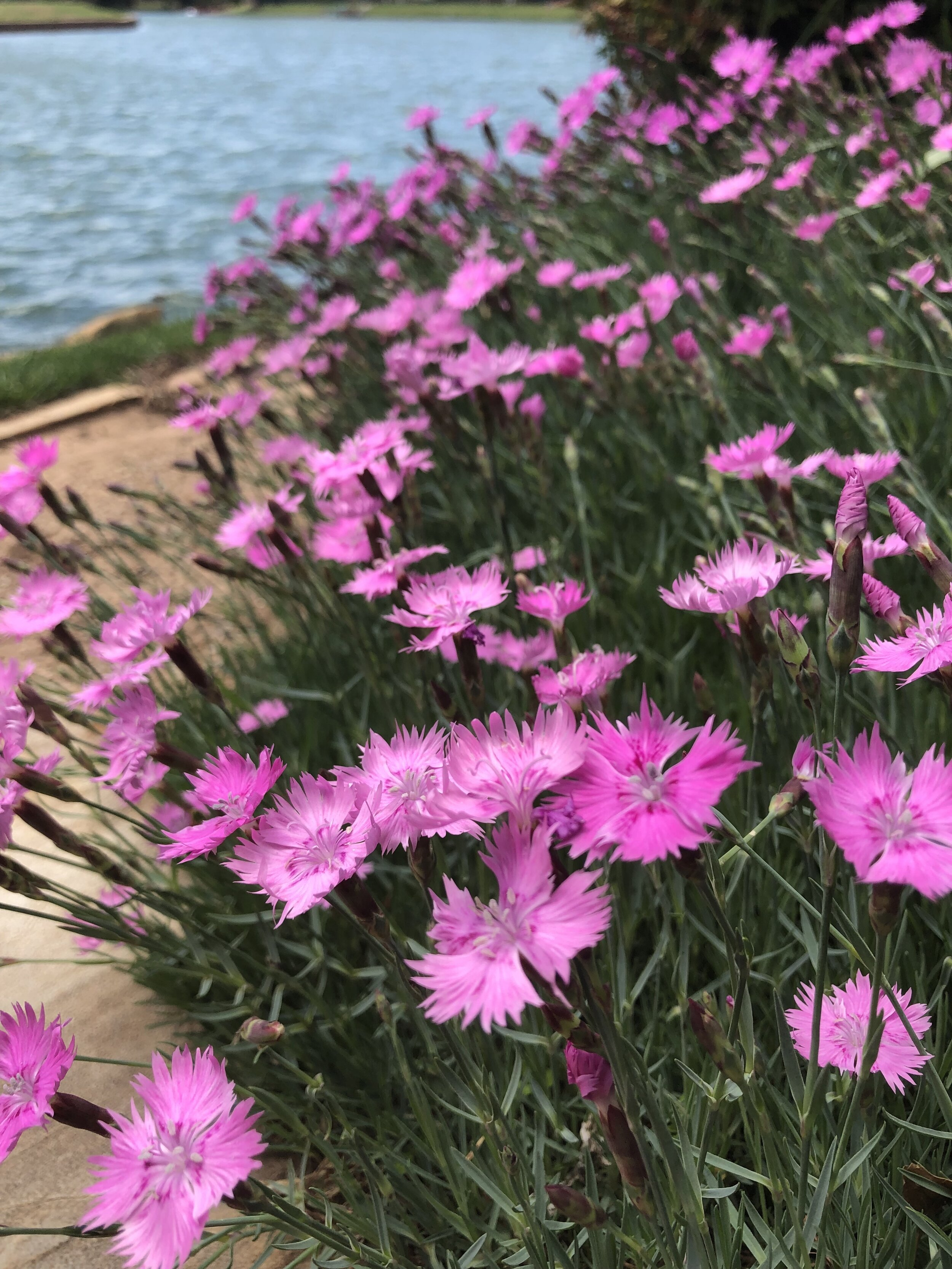 Plant perennials in the fall for great early blooms next spring.