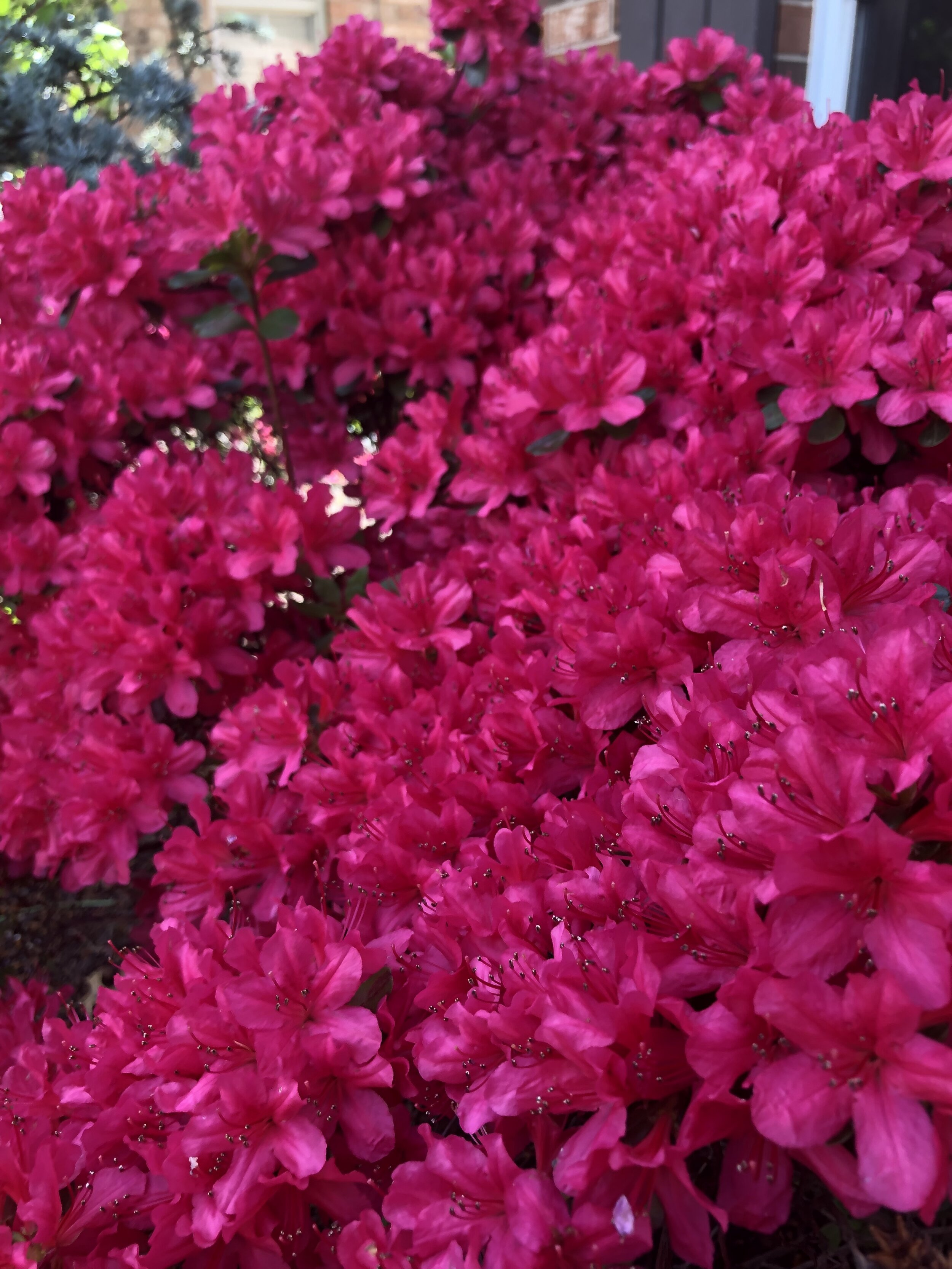 When azalea are planted in the fall the establish roots and bloom well the next spring.