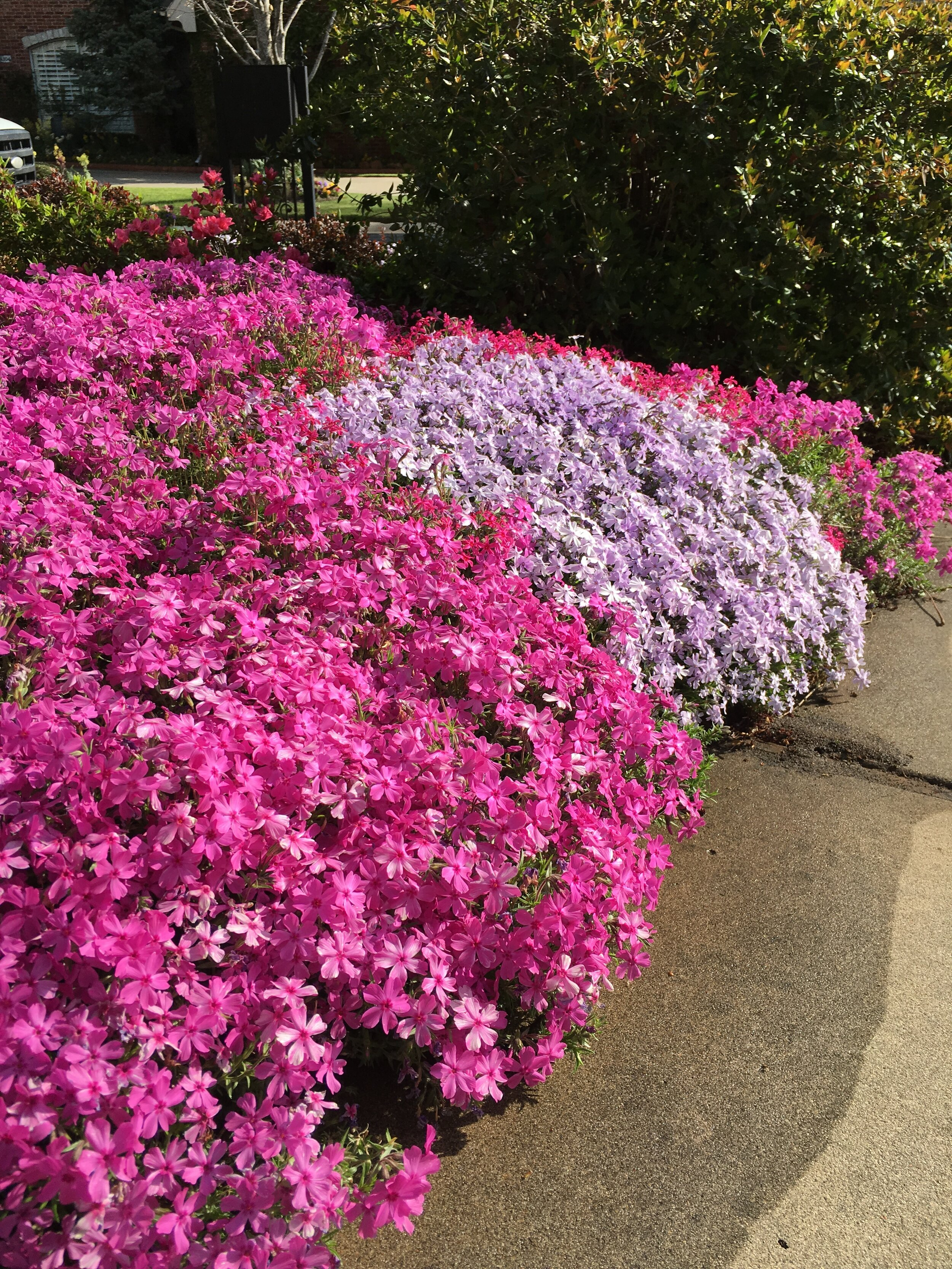 Planting creeping phlox this fall will give you a carpet of color in the spring.