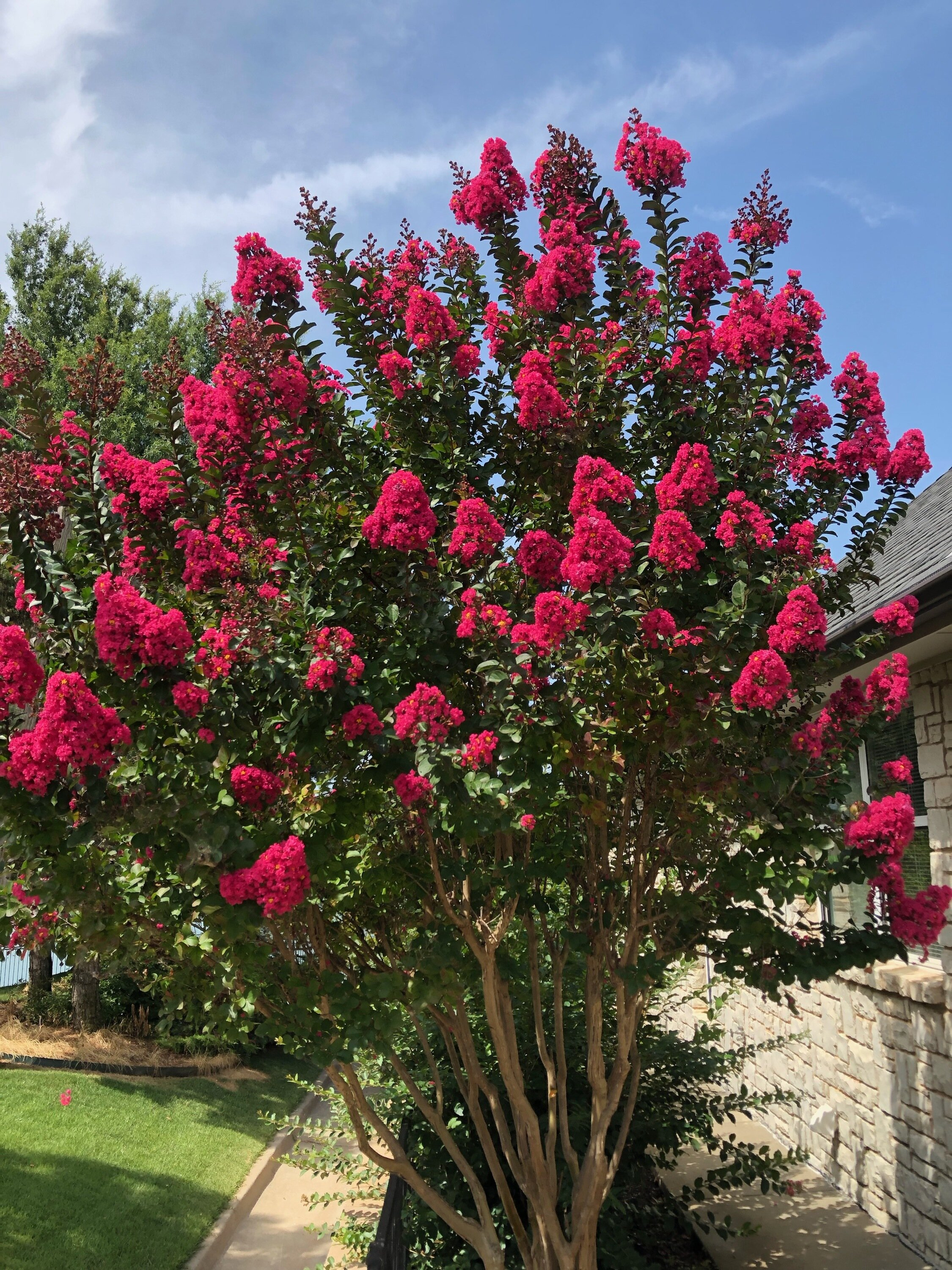 Crape Myrtles planted in the fall will bloom more their first season than ones planted in the spring or summer.