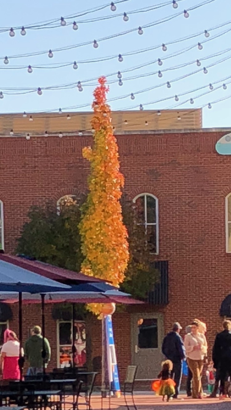 Shillouette Sweetgum, a great tree for small spaces, will put on a great show late in October.
