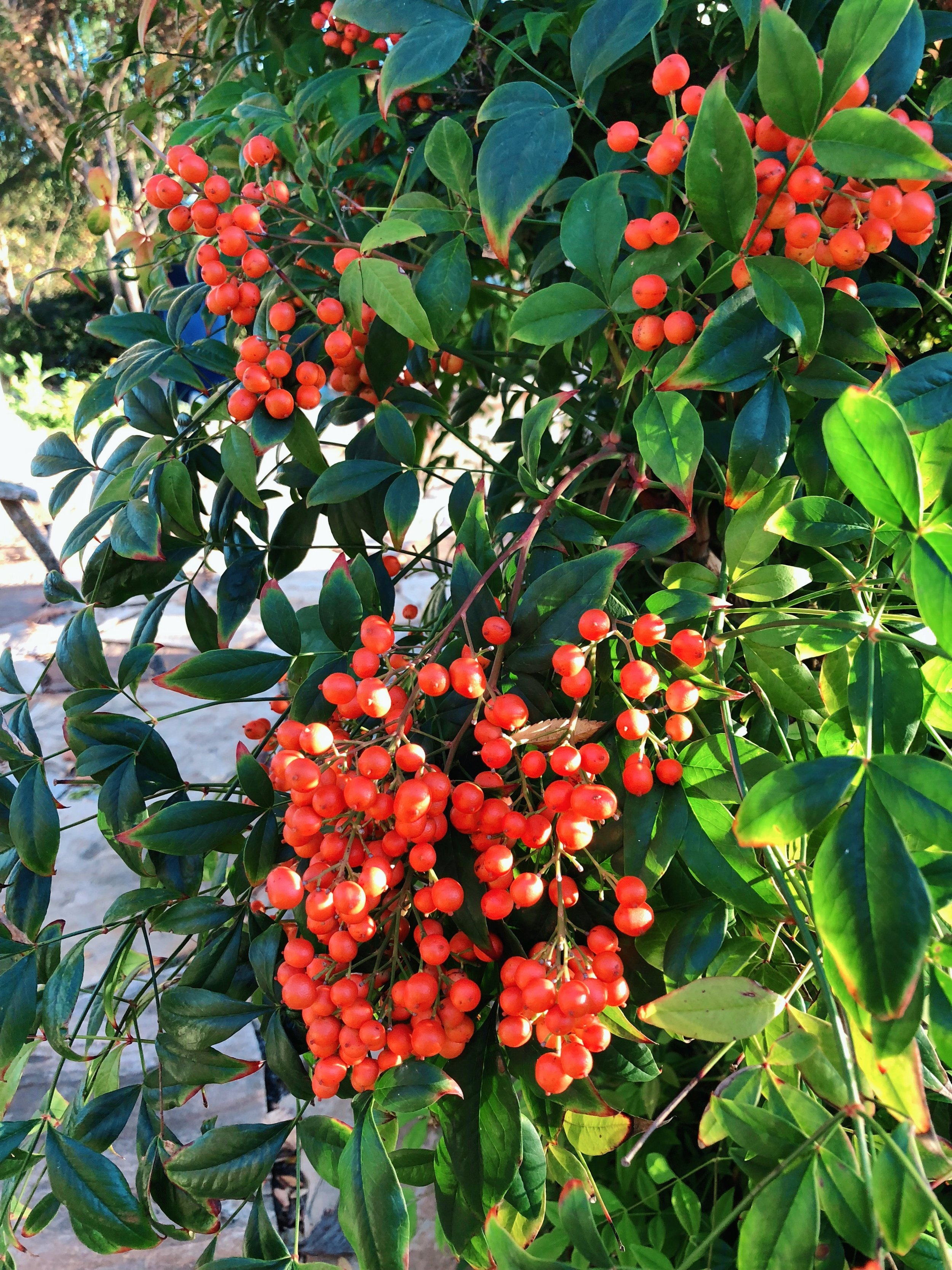 Nandina and many other shrubs add bright red berries to the landscape during the fall.