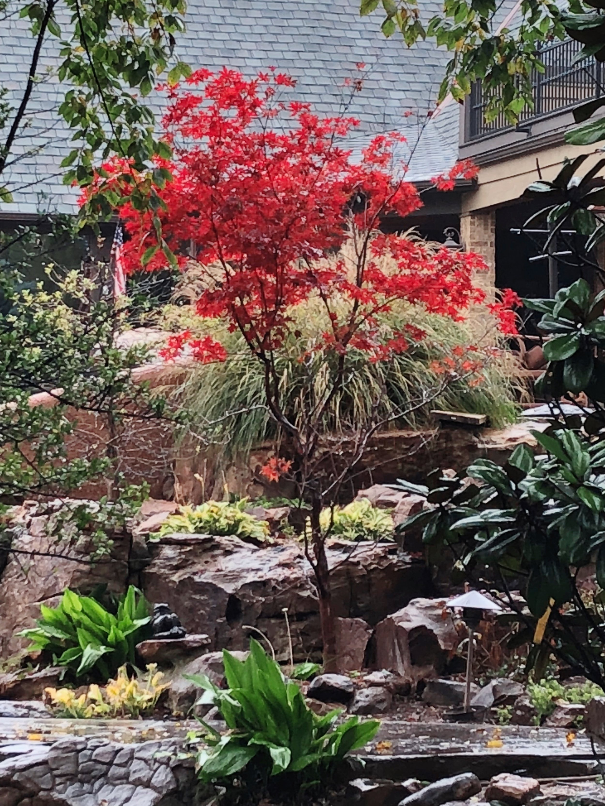 Japanese Maples return to bright red this month.