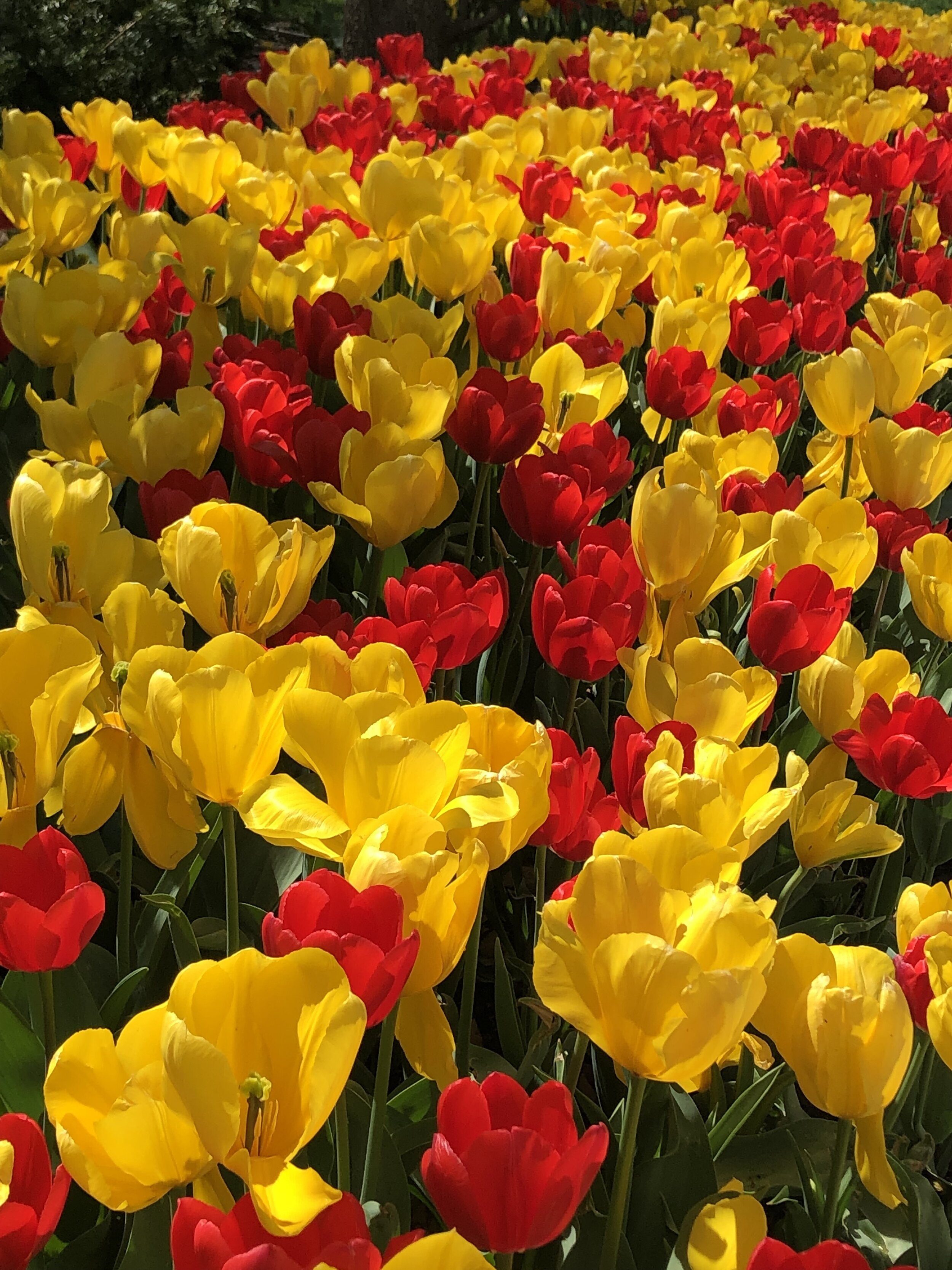 Tulips at the Myriad Gardens in Spring 2019