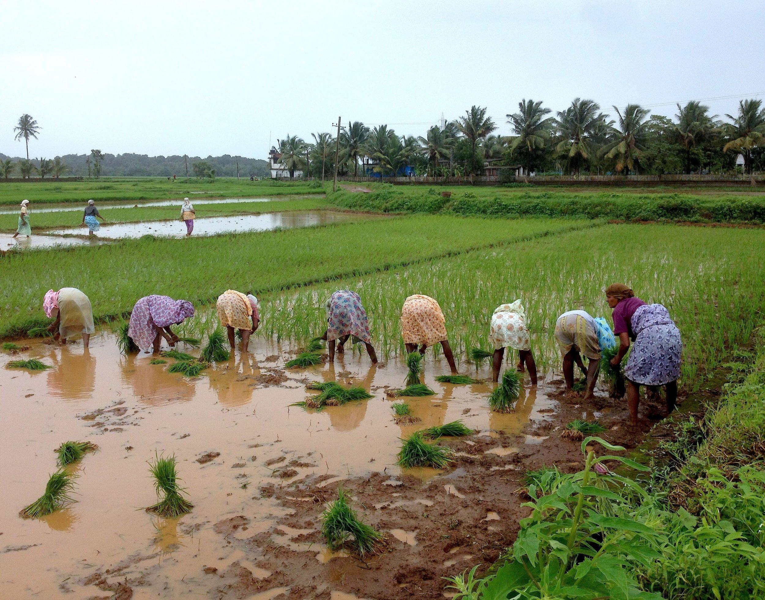 Rice fields of Goa. Picture courtesy of Saxtticho Koddo.