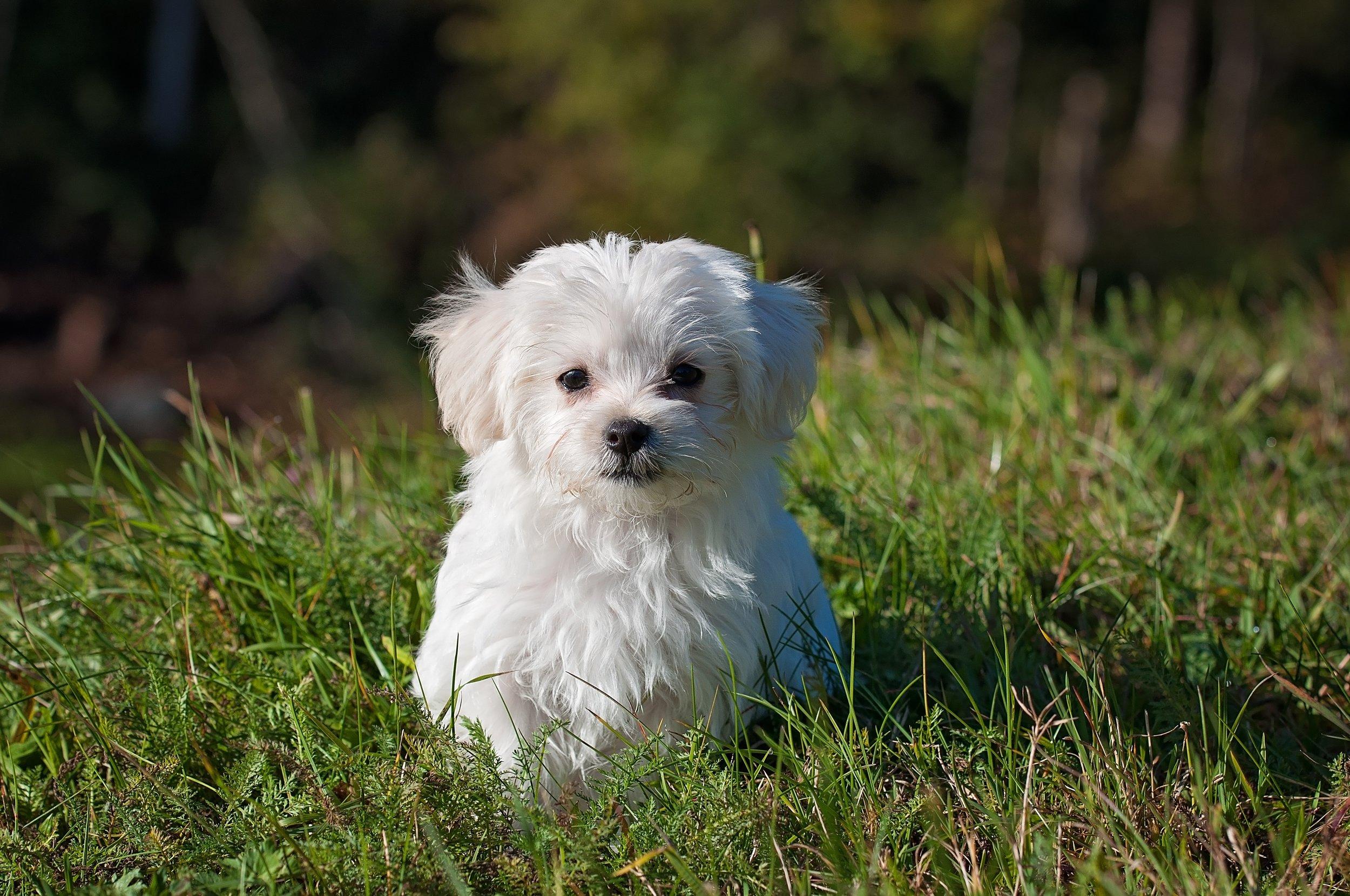 dog-young-dog-small-dog-maltese.jpg