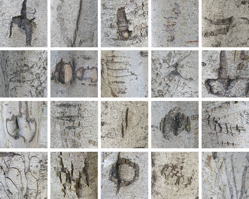 "Stephen Vincent. Grid: Haptic Markings on Ficus Trees, San Francisco (2010). Photographs. 8.5 x 11"". Courtesy of the artist"