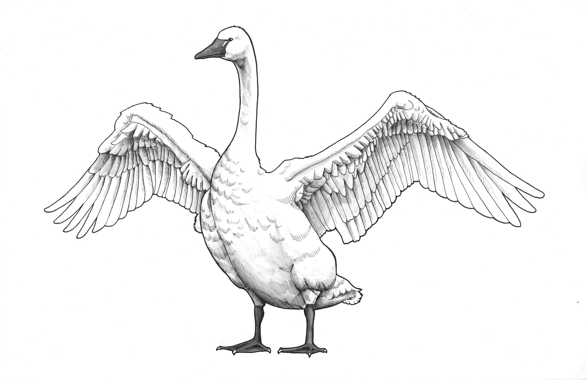 Tundra Swan_crop.jpg