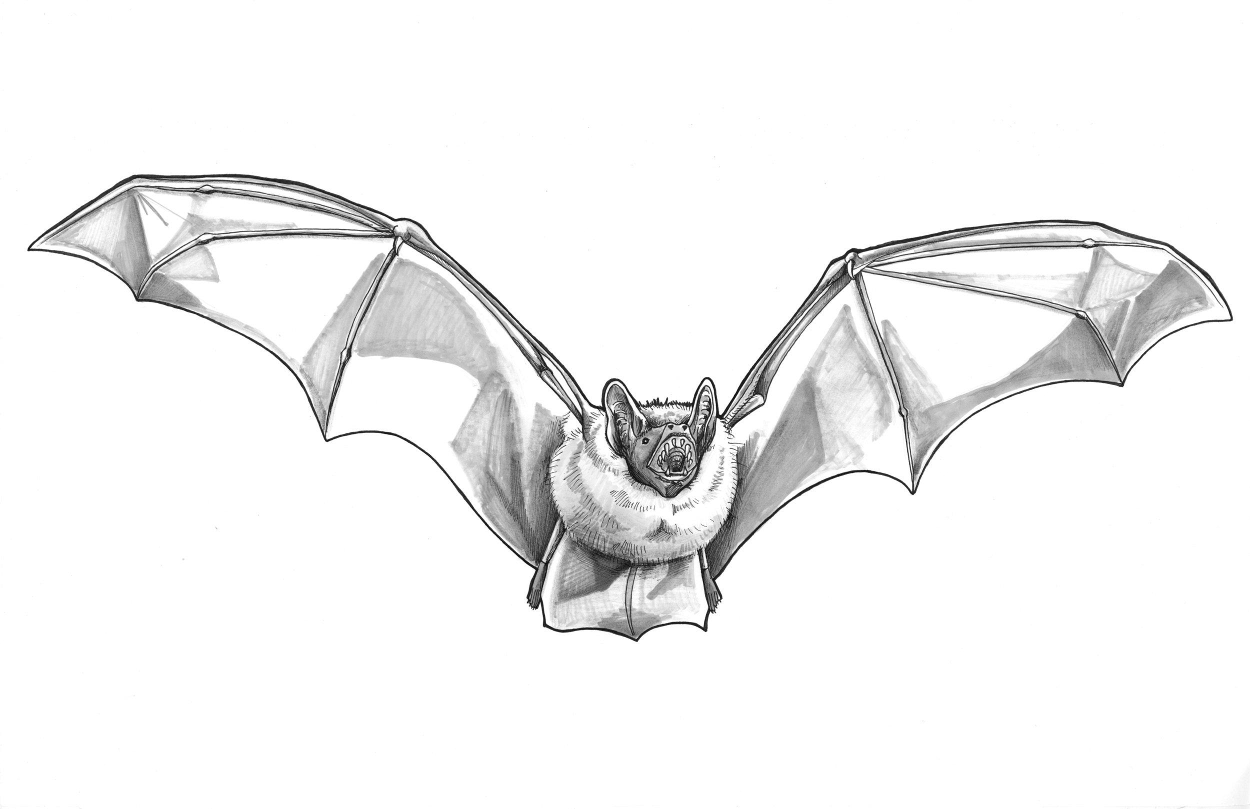 Northern Bat_crop.jpg