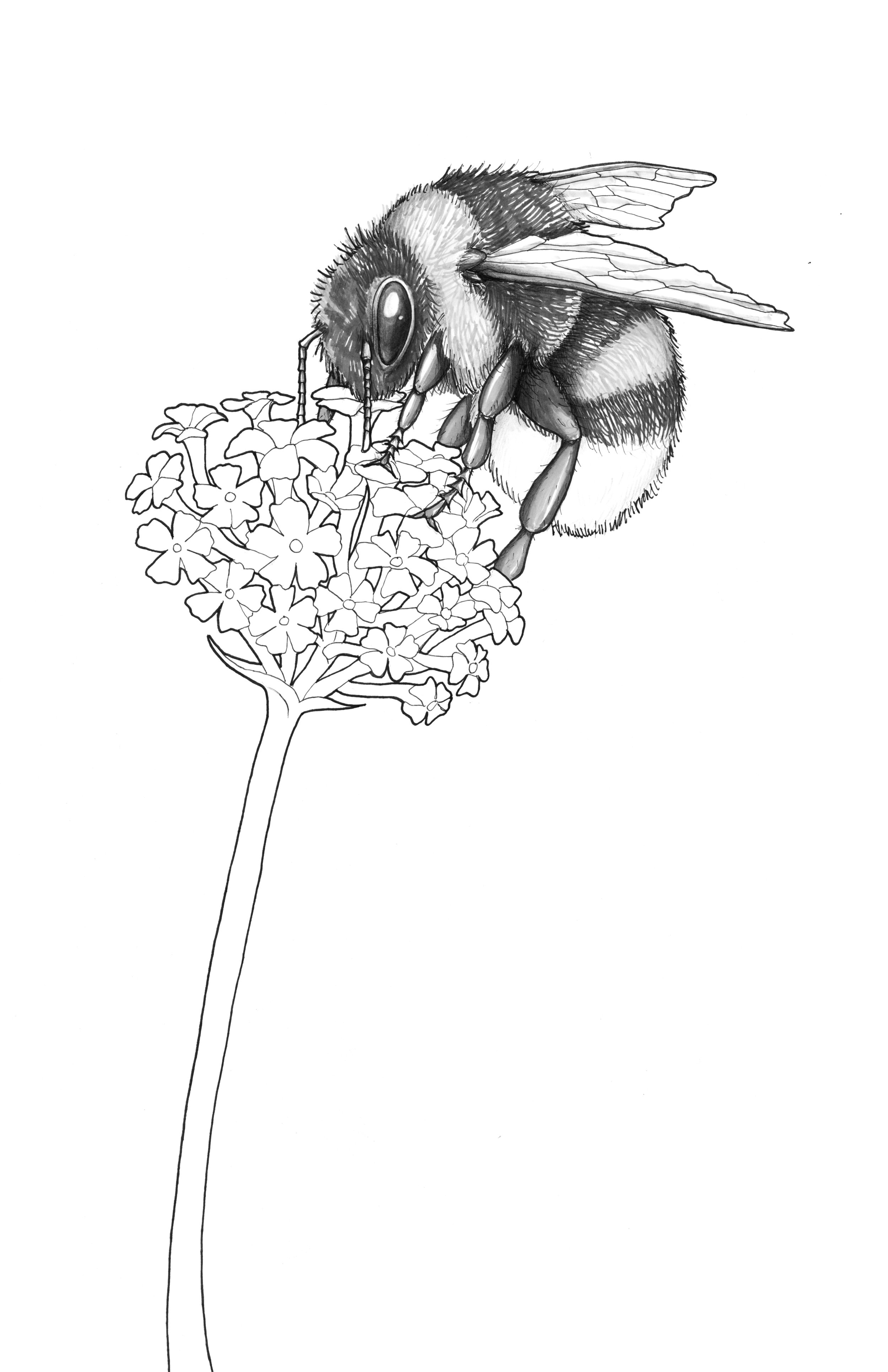 White Tailed Bee_white_crop.jpg