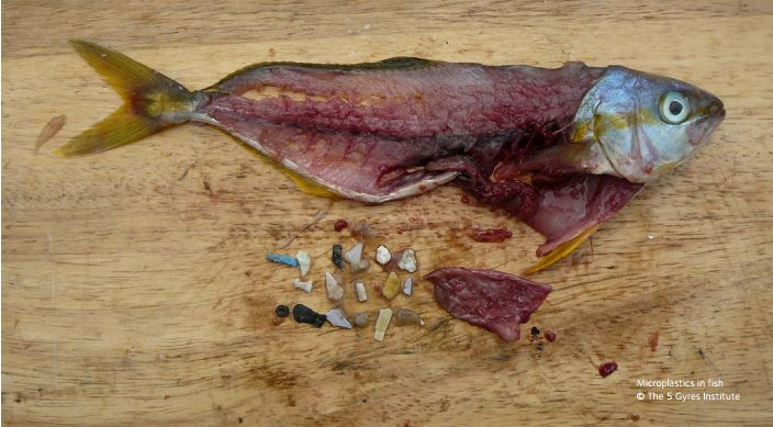 Fish caught with plastic in Stomach