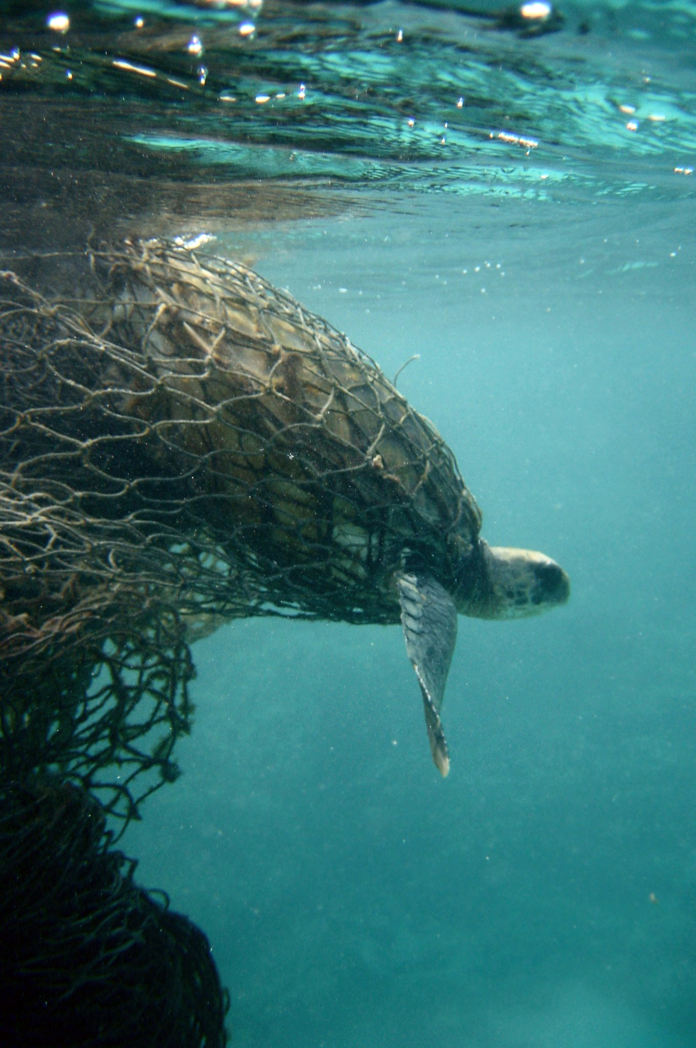 Turtle caught in discarded fishing net