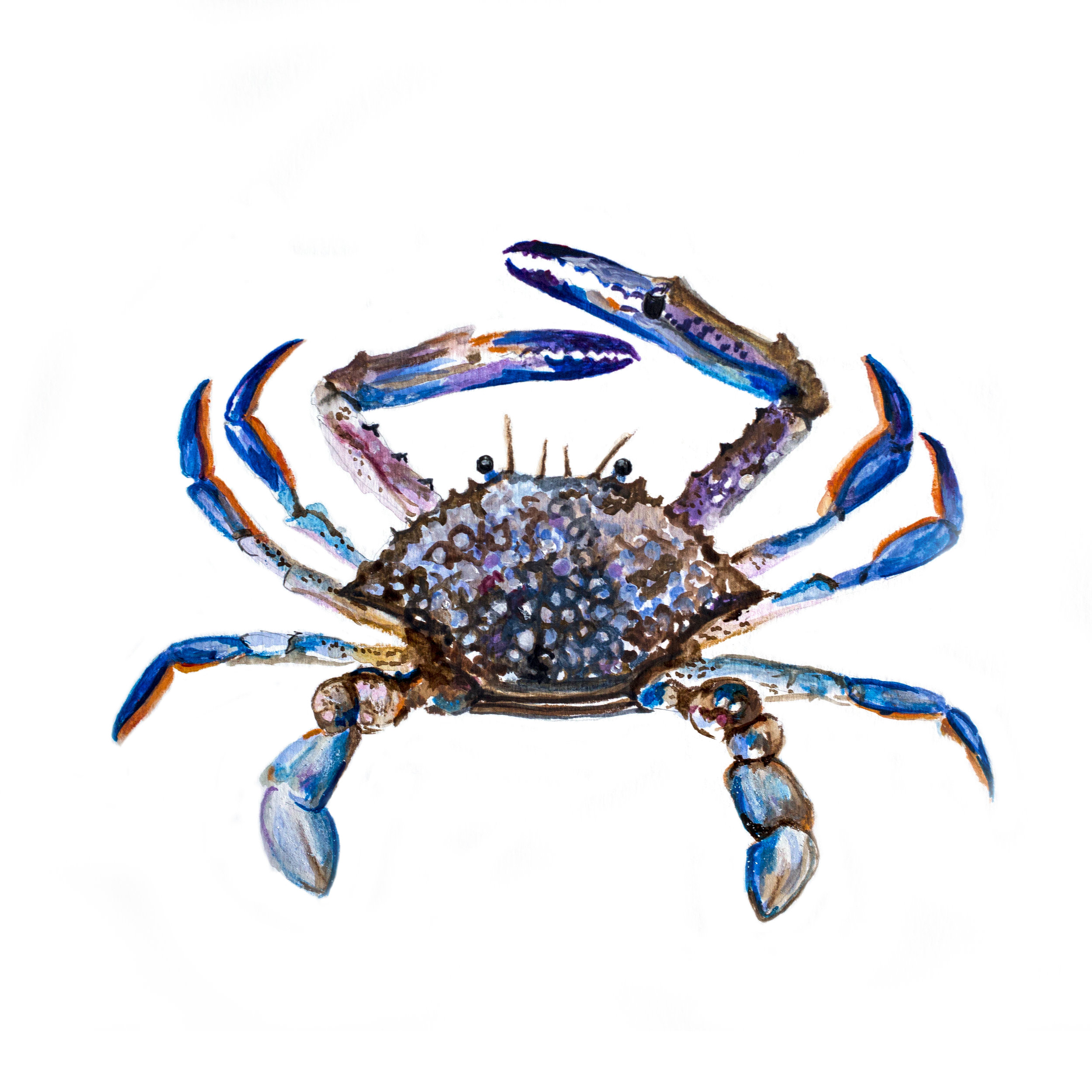 Blue swimmer crab.jpg