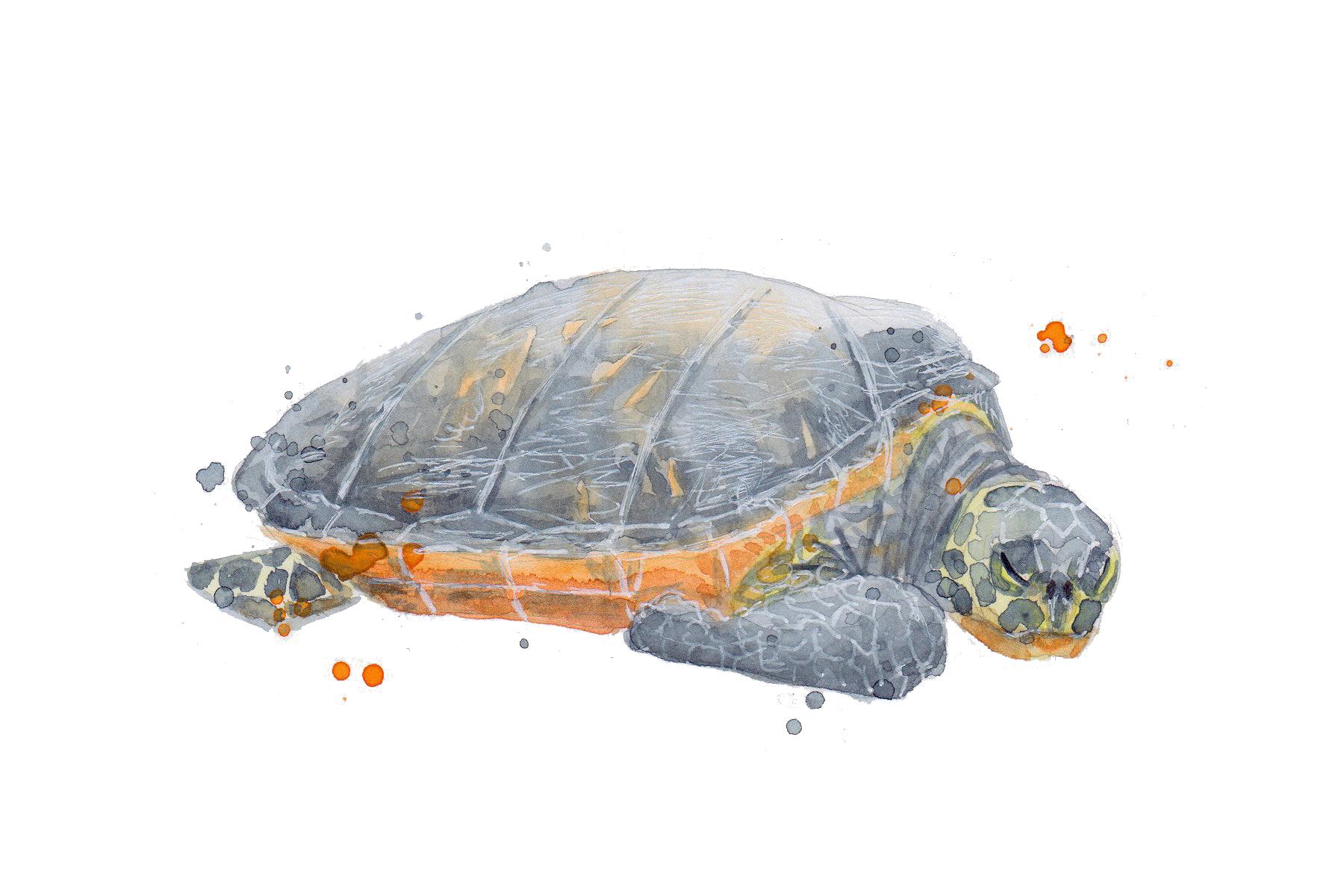Nature Turtle transparent.jpg