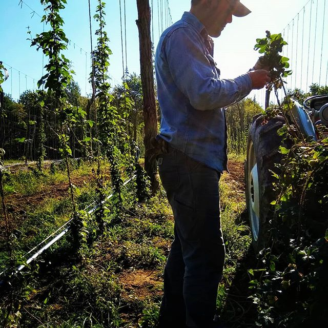 We harvested fresh Saaz hops with our friends @Coshoctonhops today for our fresh hop Helles. Prost!