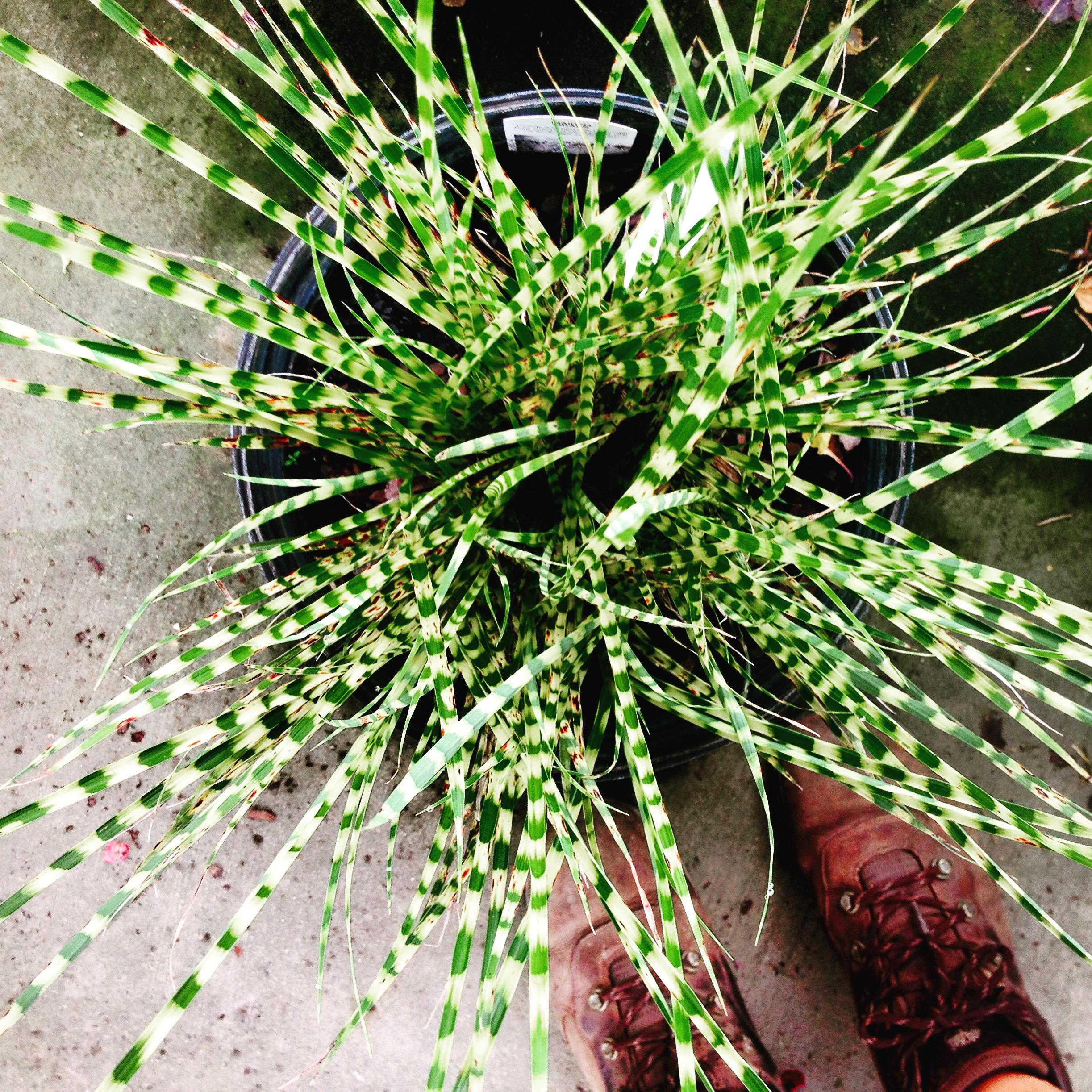 Gold Bar Grass that prefers part sun part shade