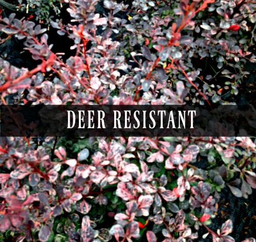Deer Resistant Perennials that deer usually don't want to eat.