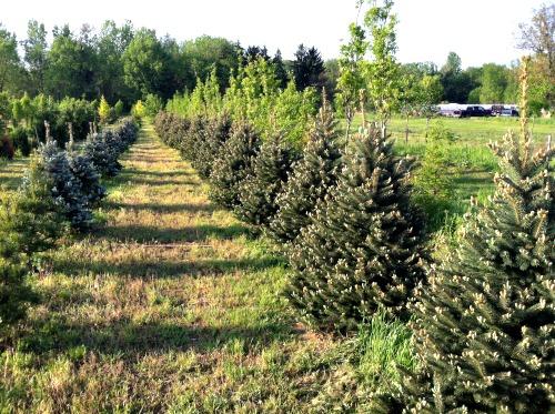 Evergreen Trees in Tree Nursery Field Location
