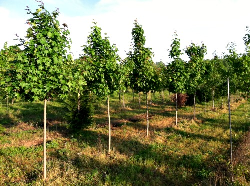 Maple Trees, Shade located in the Tree Field Nursery