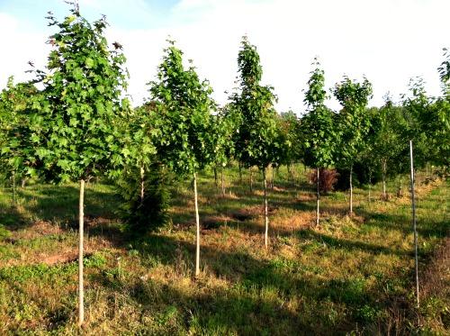 fieldtrees4.jpg