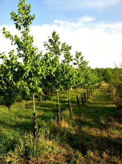 fieldtrees3.jpg