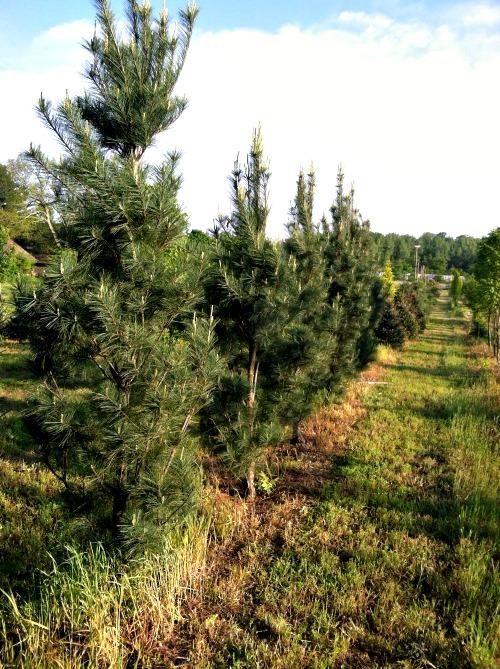 fieldtrees6.jpg