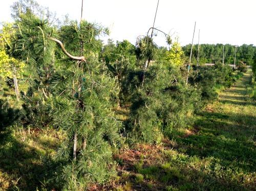 fieldtrees9.jpg