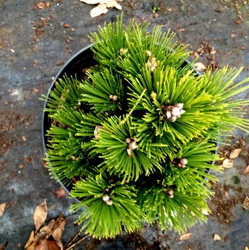 Pine Bosnian Banderica Evergreen 3 Gallon