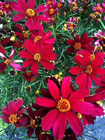#2 RED SATIN COREOPSIS   Pretty in red for its clumping foliage that make the perfect elevated ground cover. Noted for its radiant appearance this fragrant flower, plus pollinator perennial could add significant fall color to your front entryway, beds, or walkways.