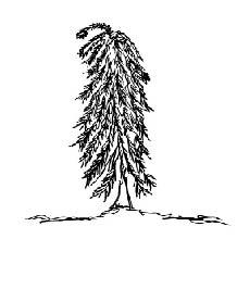 weeping evergreen tree shape small.jpg
